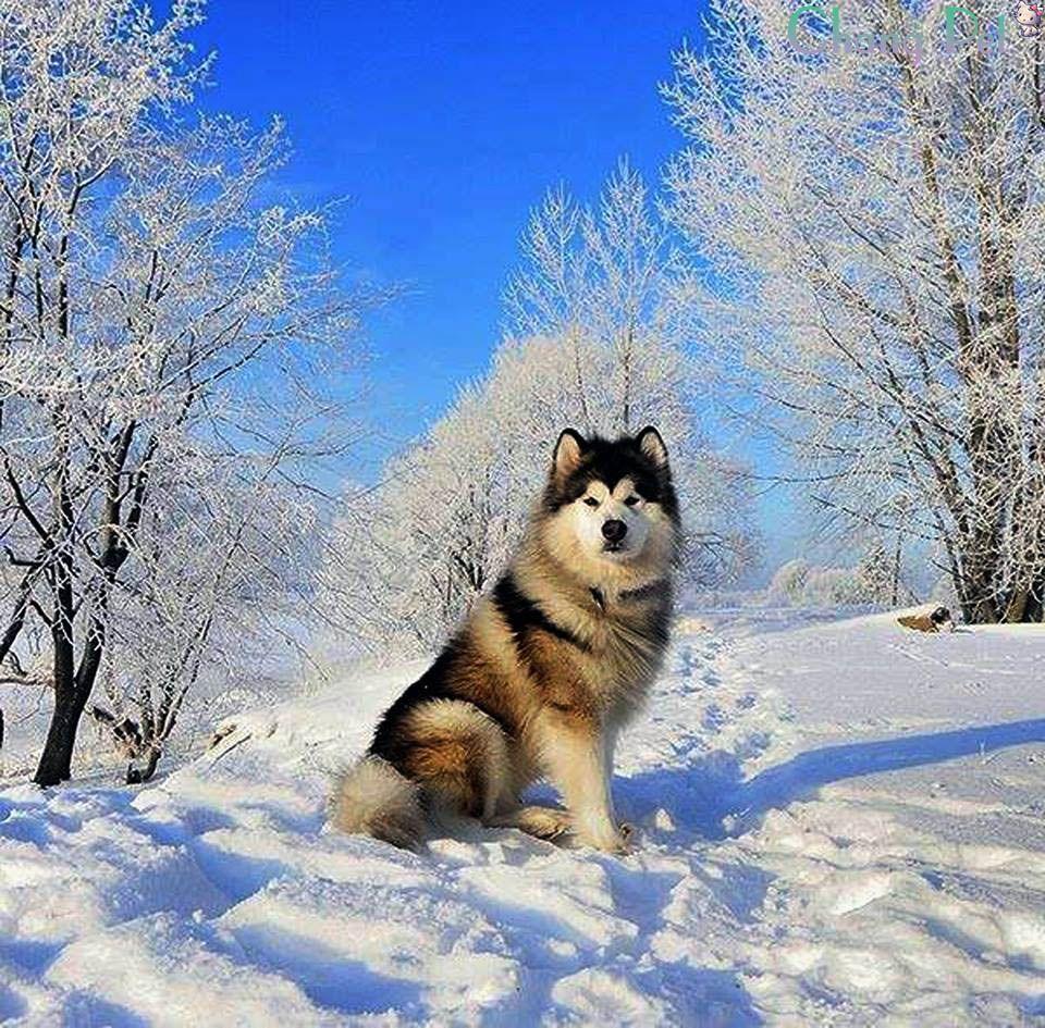 Alaskan Malamute 8 Hund Katt