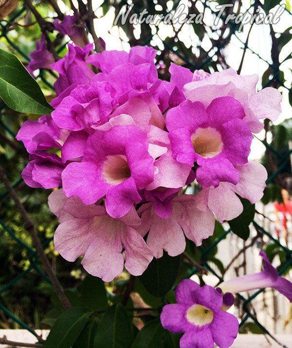Las 4 plantas trepadoras de floraci n m s hermosa plantas trepadoras plantas trepadoras - Plantas para vallas ...