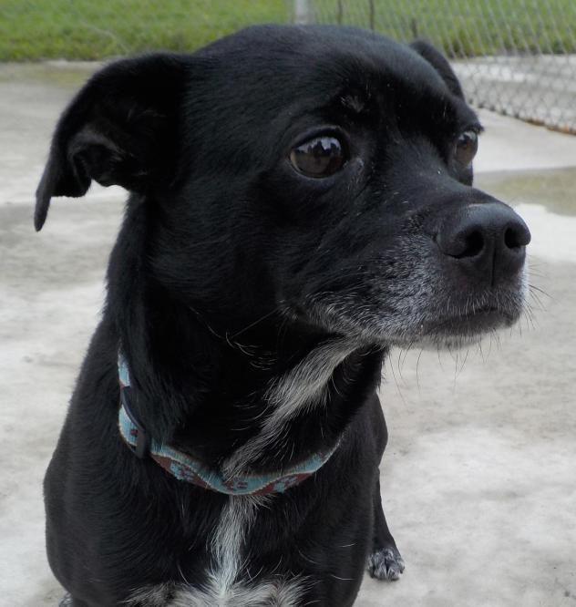 Adopt 37 Lilly Adopted On Pug Mix Labrador Retriever Adoption
