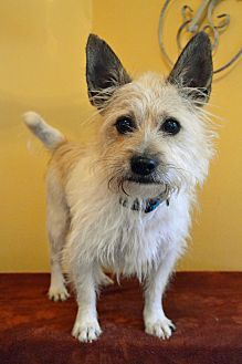 10 1 17 Cairn Terrier Westie West Highland White Terrier Mix Dog