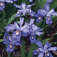 Iris cristata.  Short lived blooms.