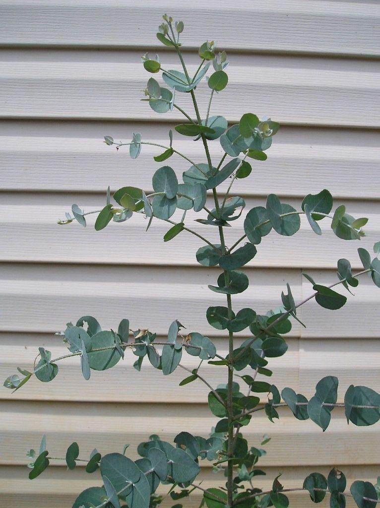 How To Grow Eucalyptus Plants Eucalyptus Plant Indoor Plants Medicinal Plants