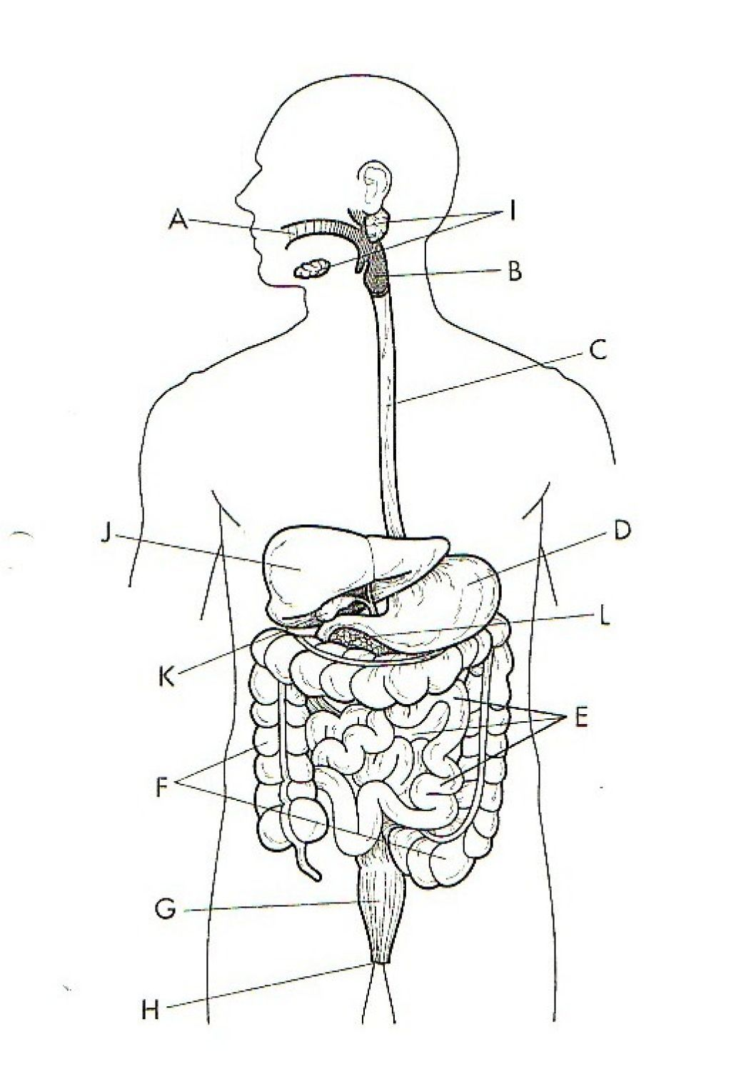 Unlabeled Diagram Of The Digestive System   Unlabeled