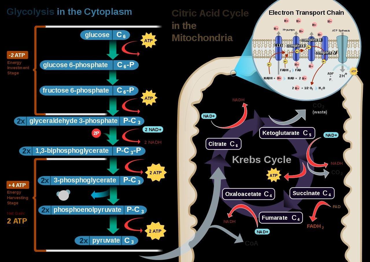 Pin by Vassilis Kalivas on Science! Cellular respiration