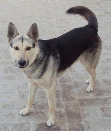 Pakistani Shepherd Dog Dog Breeds Dogs Rare Dog Breeds
