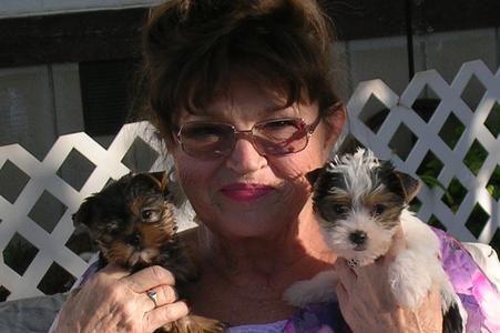 Yorkie Puppies For Sale Utah Yorkies Angel Paws Yorkie Puppy For Sale Yorkie Puppy Puppies For Sale