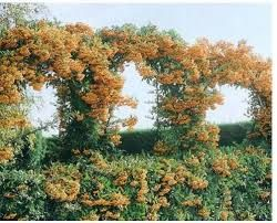 Image Result For Pyracantha Soleil D Or Uk Water Wise Landscaping Hedging Plants Vertical Garden