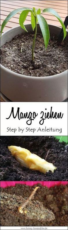 Mango ziehen leicht gemacht mit einfacher Step by Step Anleitung #kräutergartendesign