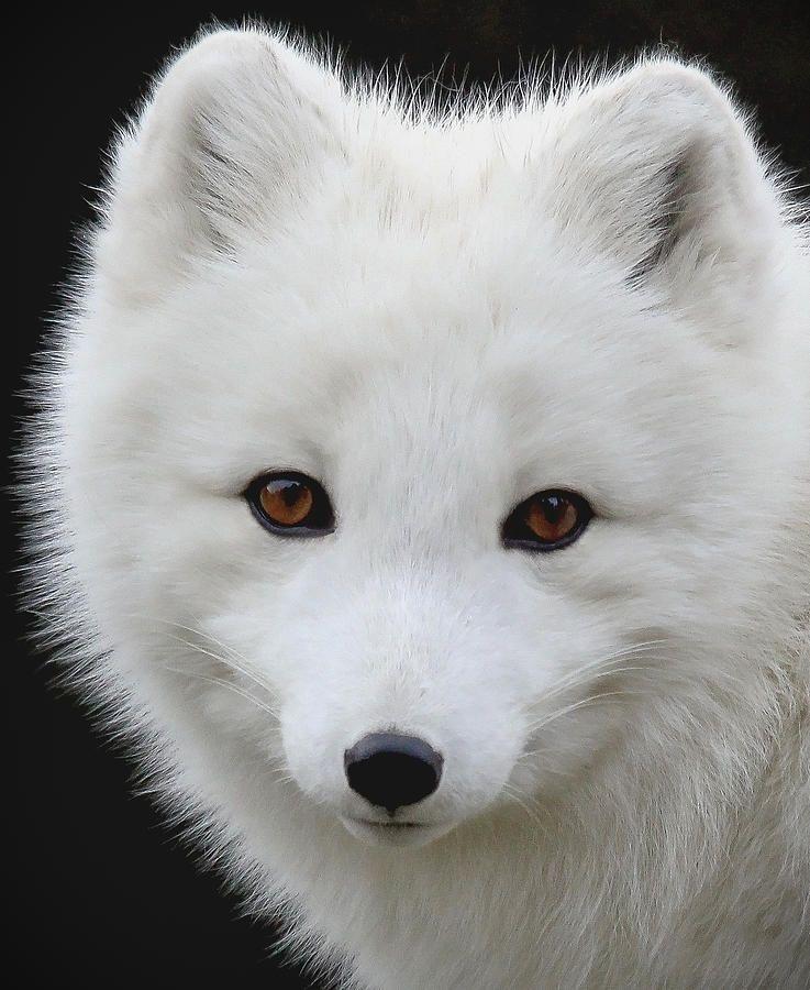 Arctic Fox Portrait by Athena Mckinzie