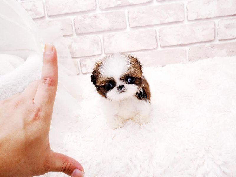 Houston Teacup Shih Tzu Shih Tzu Puppy Shih Tzu