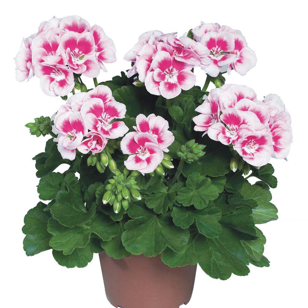 Image from http://www.vernonplants.com/medias/sys_geran/8796239298590.jpg.
