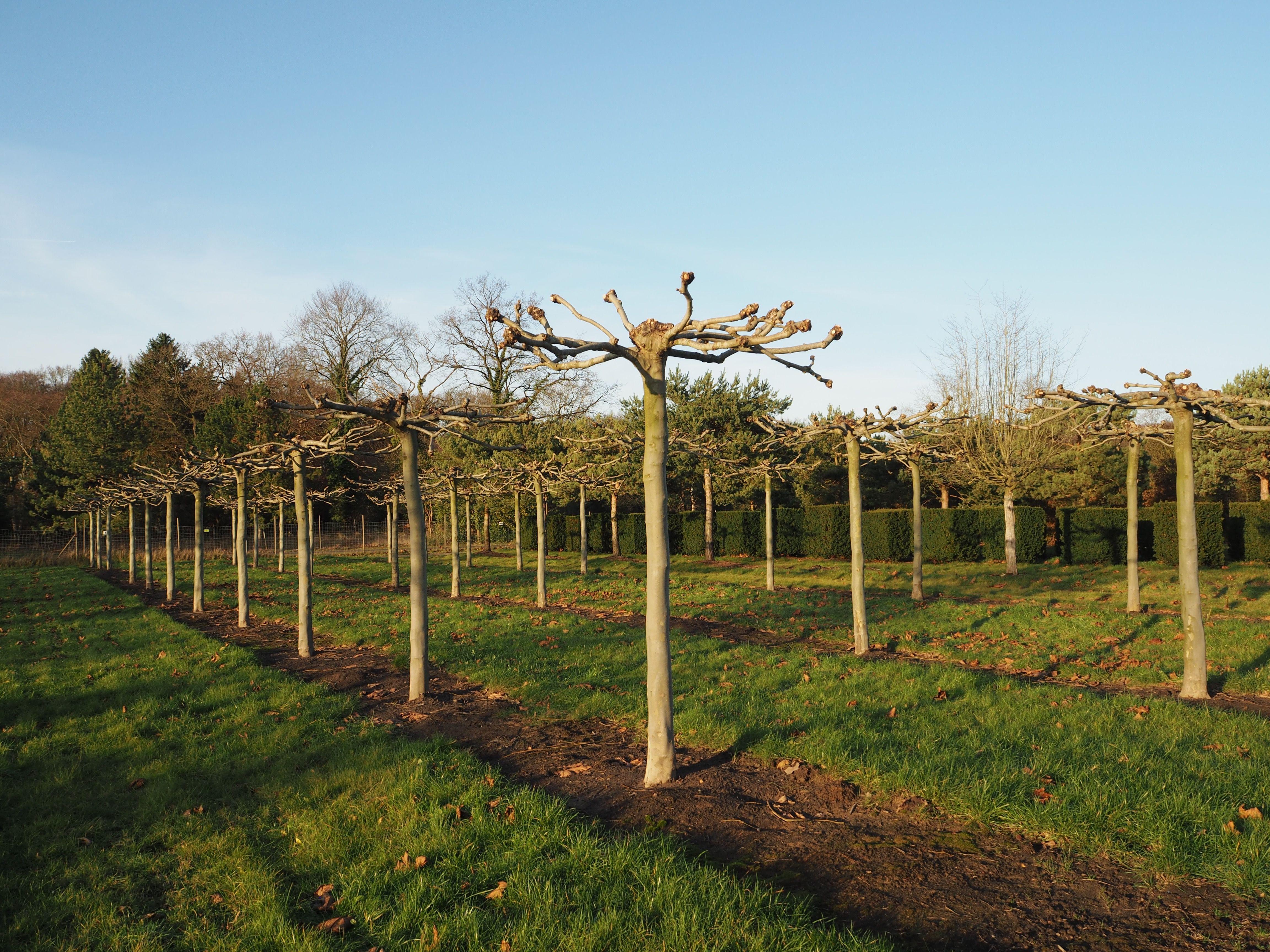 Dachplatanen Im Winter In Der Baumschule Vf Pflanzen In 2020 Dachplatane Baumschule Platanen