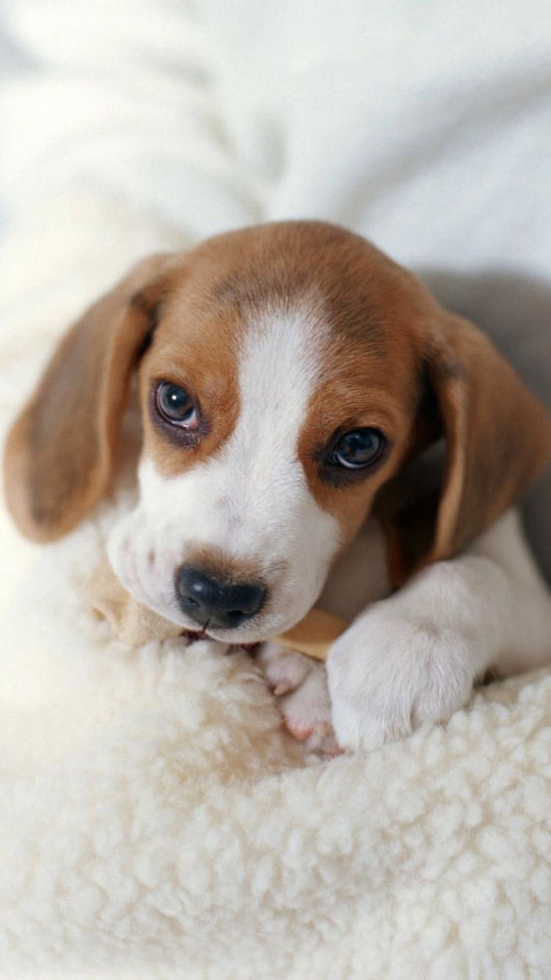 Cute Lovely Lying Puppy Dog Iphone 8 Wallpapers Puppies Cute