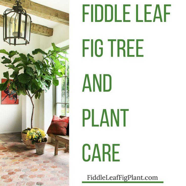 Fiddle Leaf Fig / Ficus Lyrata Fig tree plant, Fiddle