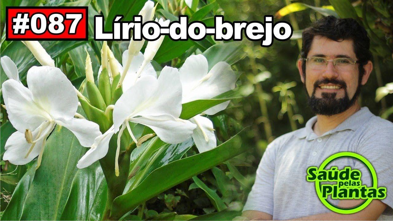 Saúde Pelas Plantas - Lirio do Brejo [calmante, hipertensão, anti-inflam...