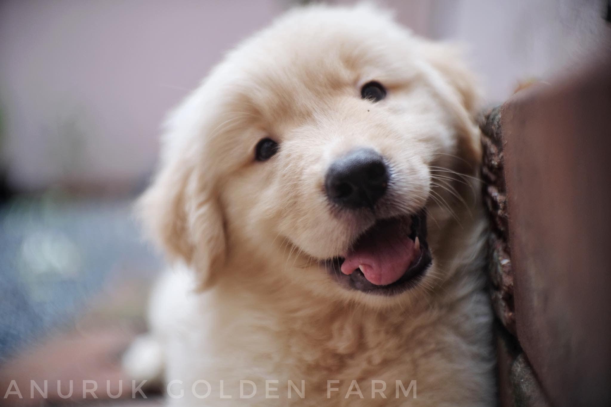 My Girl Gloden Retriever Dogs Golden Retriever Dogs Pet Dogs