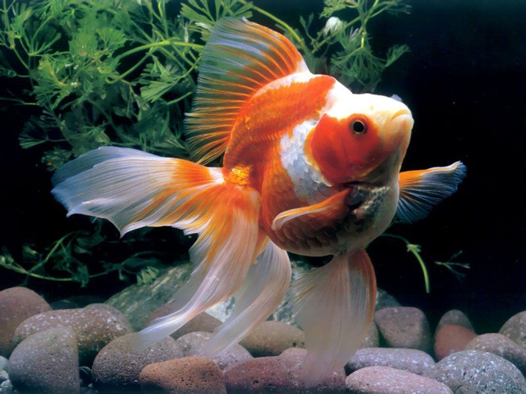 Chinese Goldfish 金魚 美しい魚 観賞魚