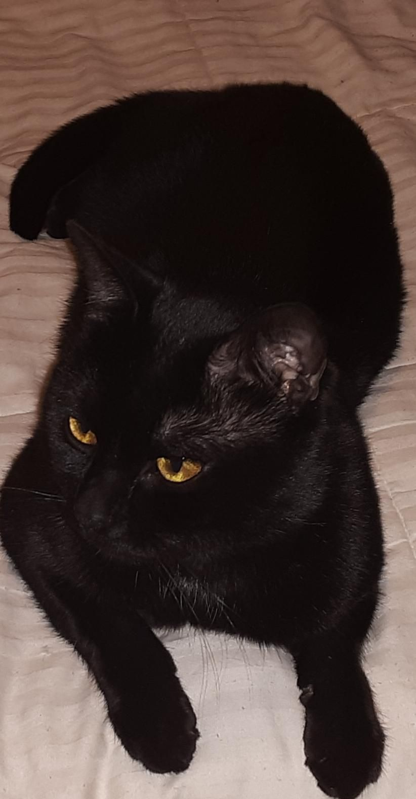 My Little Void Salem Just Passed Through A Freak Accident On The 6th Just Three Years Old In 2020 Cats And Kittens Cute Cats Black Cat