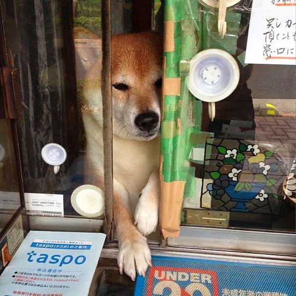 Shiba Inu Opens Tobacco Shop Window For Customers Shiba Inu Cute Dogs Shiba Inu Dog