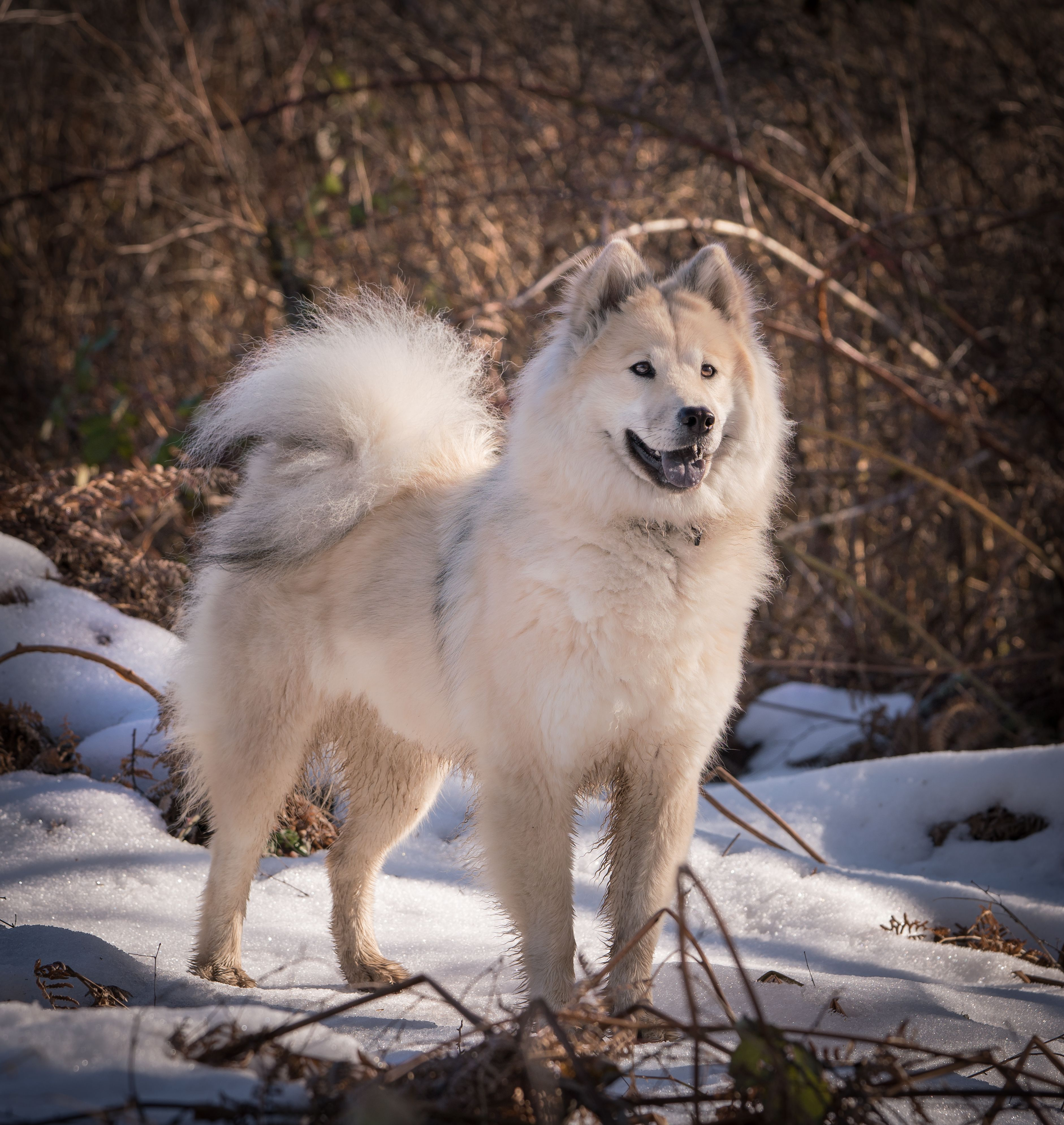 Maple The Eurasier Loves To Romp In The Wet Spring Woods Ancient