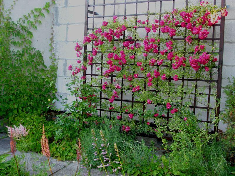 Шпалеры для роз плетистых