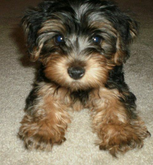 Pin By Amy Magazu On Puppy Love Morkie Puppies Morkie Dogs Yorkie Puppy