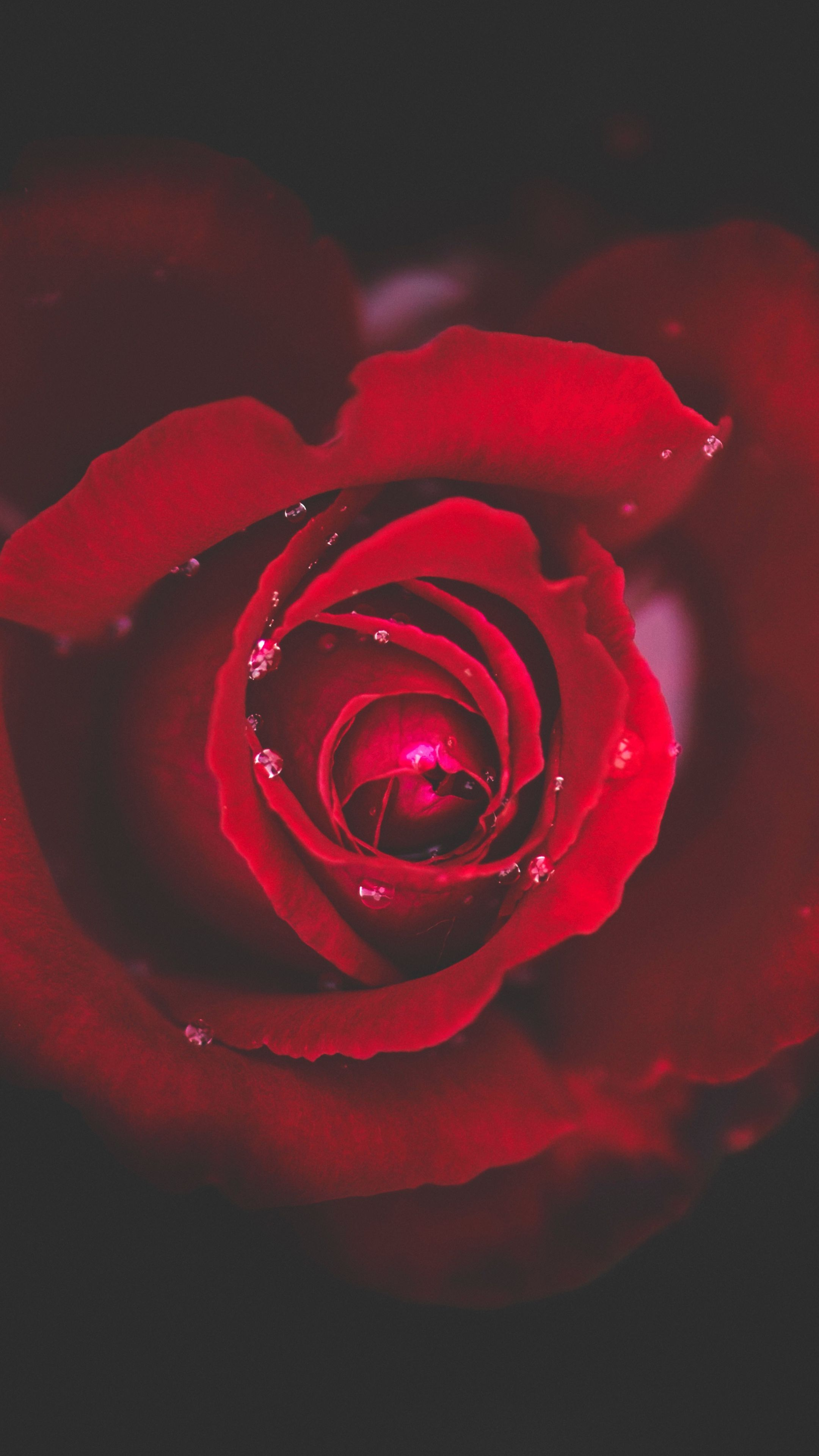 Download Wallpaper 2160x3840 Rose, Bud, Red, Drops, Close
