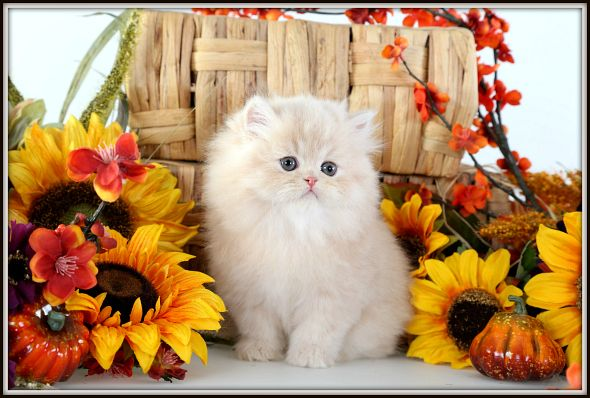 Teacup Persian Kittens At Their Finest Persian Kittens For Sale Persian Kittens Teacup Persian Kittens