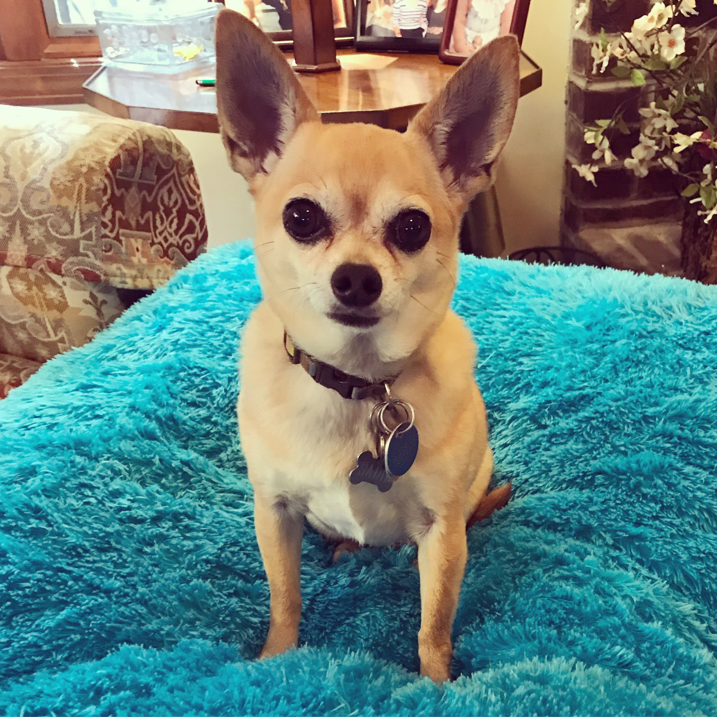 Sadie The Adorable Chihuahua I Had The Pleasure Of Working With