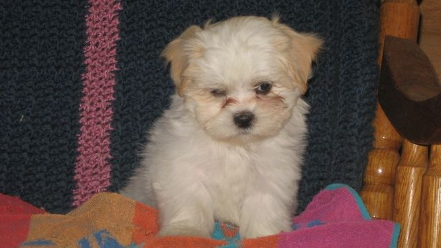 Maltese Puppies For Sale In Utah Zoe Fans Blog Maltese Puppies