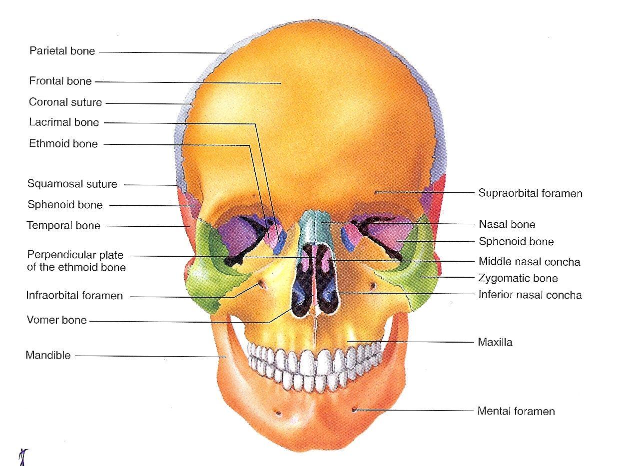 Skull Labeled