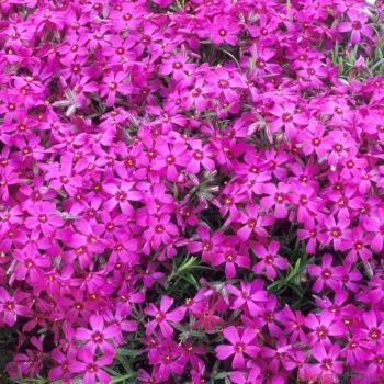 Phlox nain Temiskaming : godet vert | Jardin Magique | Pinterest ...