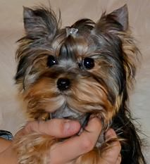 Akc Teacup Yorkies For Sale In Tn Parti Yorkies My Favorite