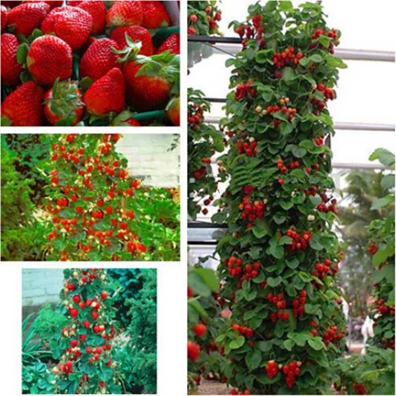 Red giant Climbing Strawberry Seeds Fruit Seeds For Home & Garden ...