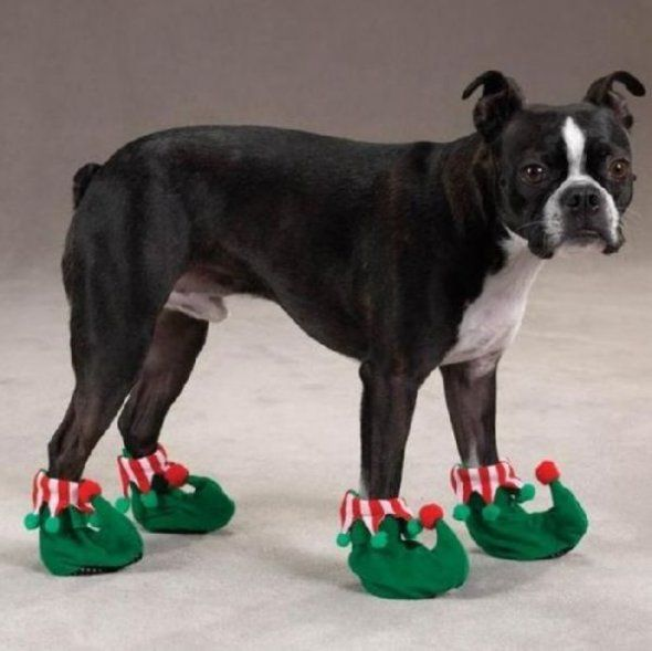 A Cute Dog Wearing Elf Slippers And Looking Like He Just Saw Santa Fun Peludo