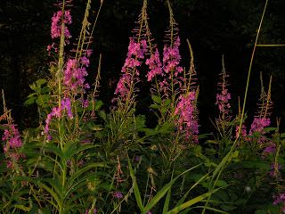 Fireweed  - a great spring wild edible