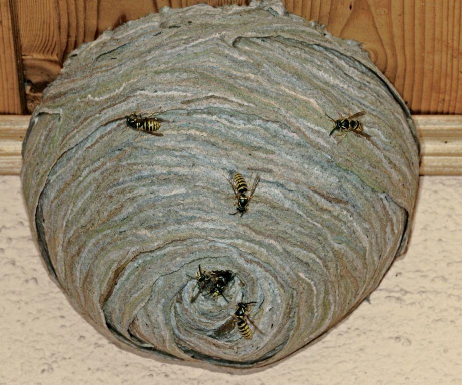 wespennest van de duitse wesp ook wel de limonade wesp genoemd wespen pinterest. Black Bedroom Furniture Sets. Home Design Ideas