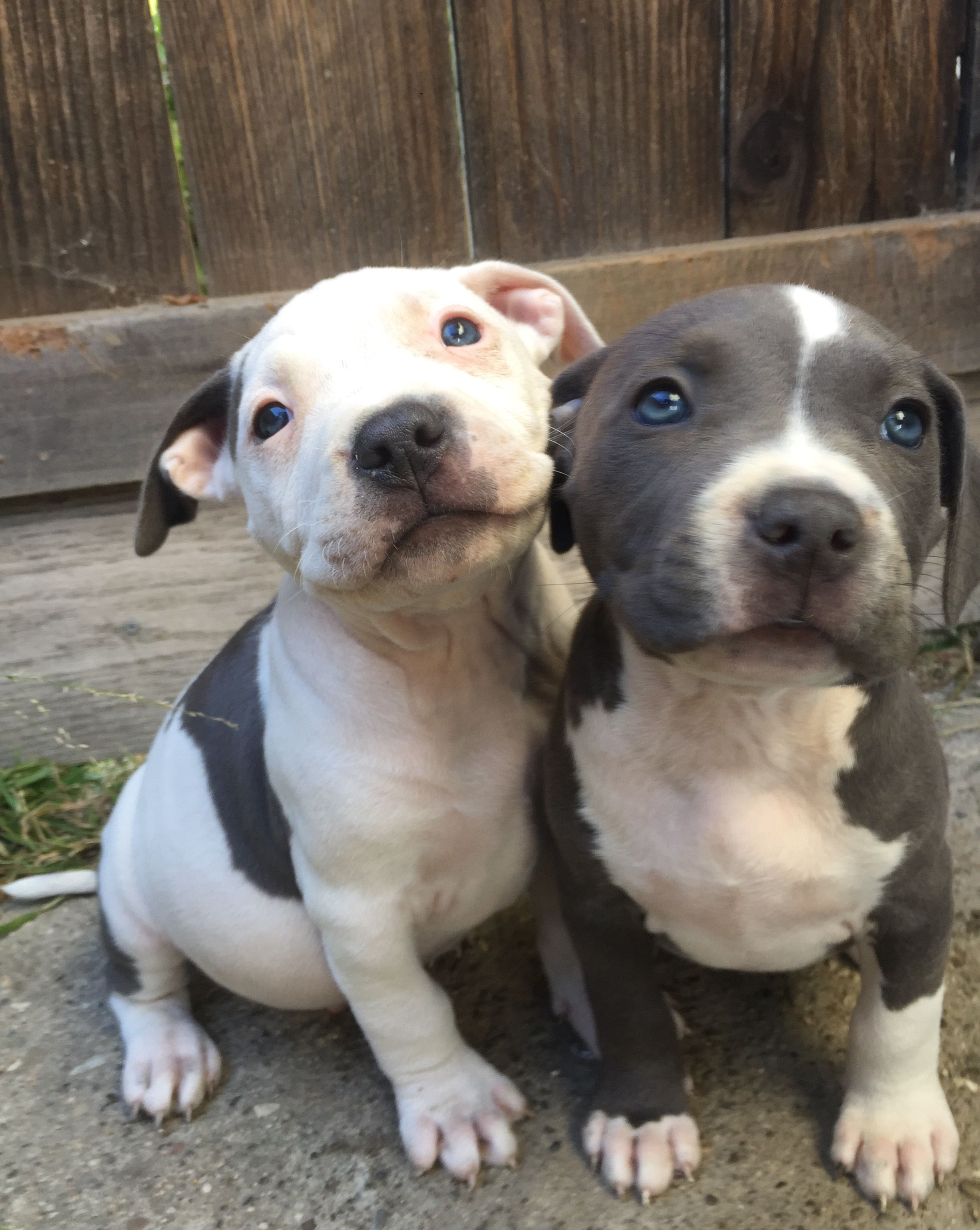 City Of Ventura American Staffordshire Terrier Puppies Animals