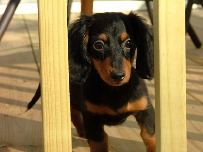 miniature dachshund puppies for sale in ohio Zoe Fans