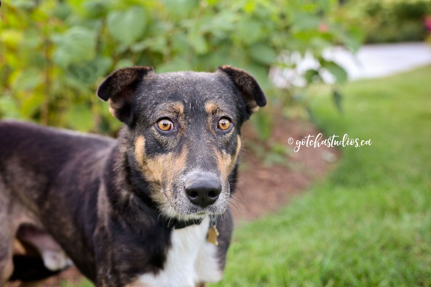 BENNY Dog Tales in King City, Ontario ADOPT OR FOSTER