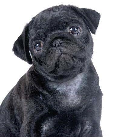 Cute Black Pug Puppy Black Pug Puppies Pug Dog