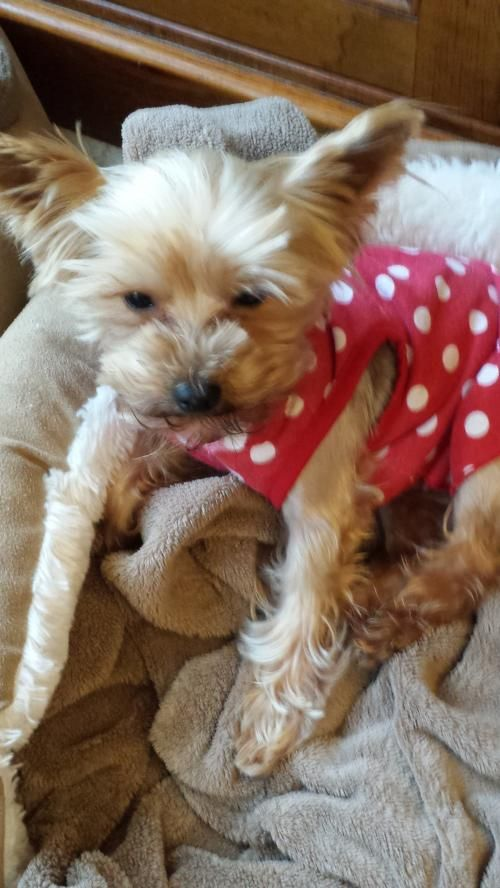 Meet Petie A Petfinder Adoptable Yorkshire Terrier Yorkie Dog