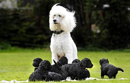 White Pedigreed Poodle Mother Eight Black Poodle Puppies Black