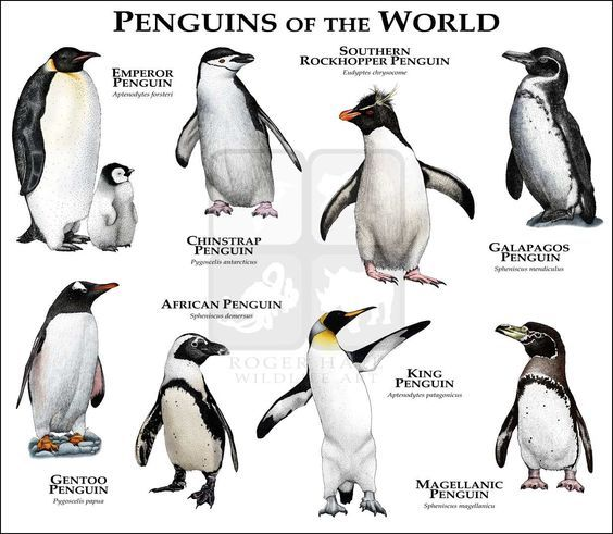 Wildlife Art Penguins Of The World Penguins Animals Penguin Species