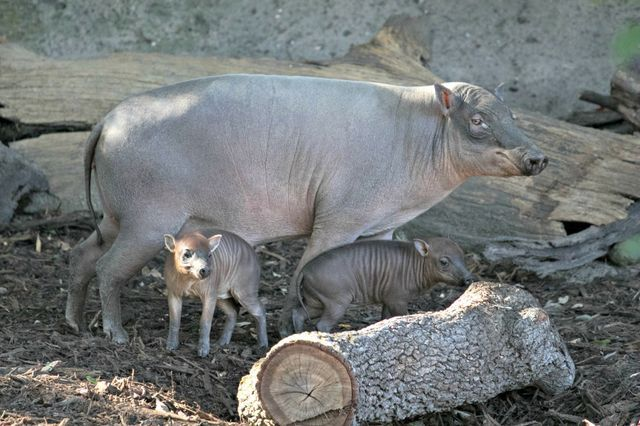 What's In a Name? Ask These Babirusa Piglets