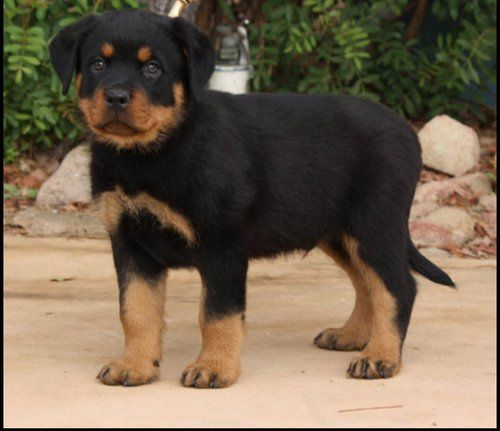 Rottweiler Loving Confident And Loyal Rottweiler Puppies Dog