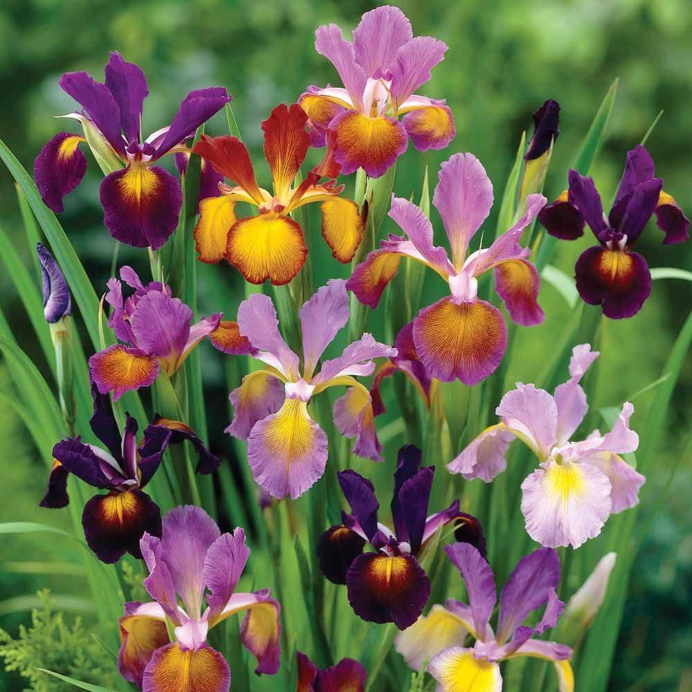 Iris Metallic Mixture Dutch Iris Bulb Flowers Planting Bulbs Autumn Flowering Plants