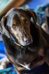 Buddy Is An Adoptable Labrador Retriever Dog In Missionbc