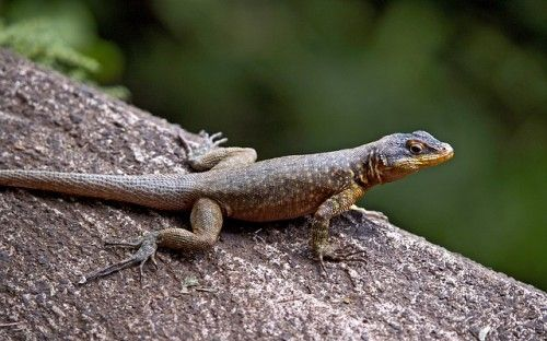 Definition of Lizard by a Bengali Facts