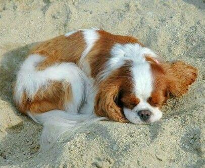 Blenheim Cavalier King Charles Spaniel, Sleeping in the